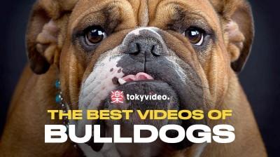 The best videos of Bulldogs