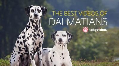 The best videos of Dalmatians