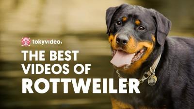 The best videos of Rottweiler