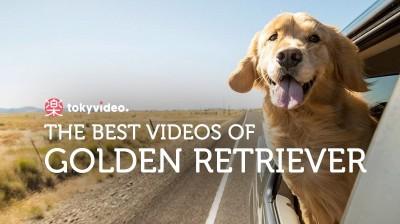 The best Golden Retriever videos