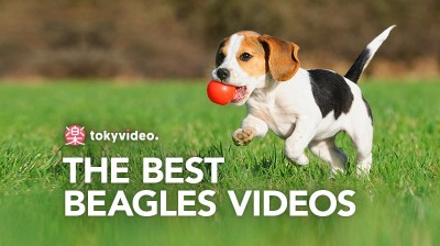 The best Beagles videos