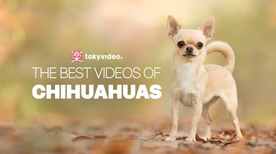 The best videos of Chihuahuas