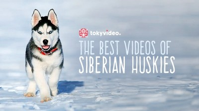 The best videos of Siberian Huskies